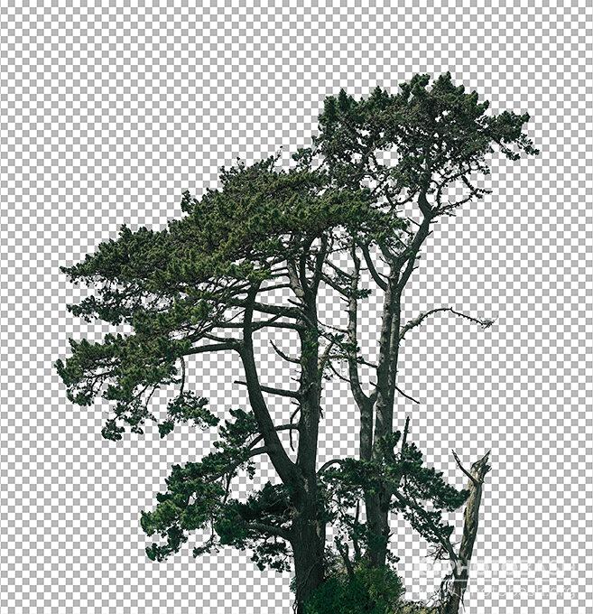 پرسوناژ درختان سوزنی برگ