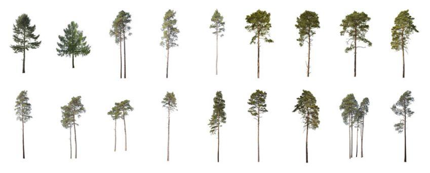 پرسوناژ درختان مخروطی