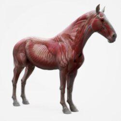 دانلود آبجکت آناتومی اسب