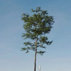 دانلود مدل سه بعدی درخت کاج اسکاتلندی