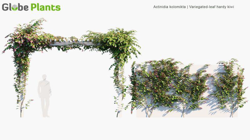 آبجکت درخت انگور و پیچک